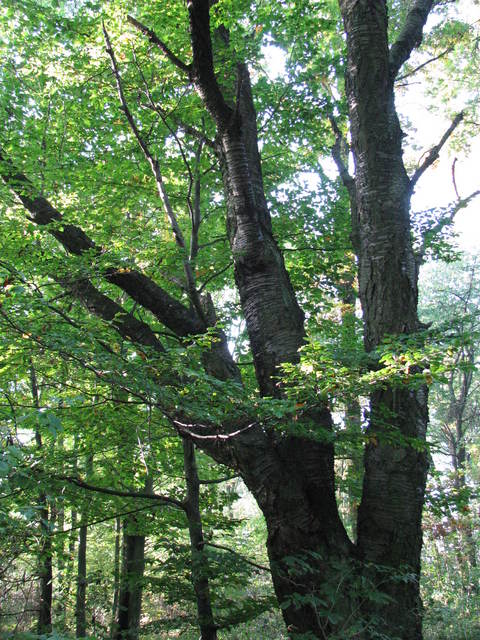 3 Pomnik przyrody - Czereśnia ptasia (Cerasus avium)1.jpeg