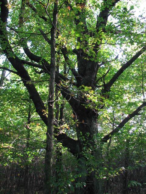 3 Pomnik przyrody - Czereśnia ptasia (Cerasus avium)3.jpeg